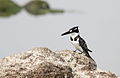 Pied Kingfisher, Ceryle rudis at Borakalalo National Park, South Africa (9822667304).jpg