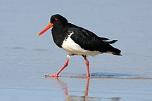 Fraser Island-Reptiles and amphibians-Pied Oystercatcher