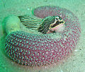 Pierre's armina feeding on purple sea pen DSC09784.jpg