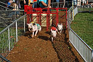 Pig racing - Pigs race away from the starting gate.