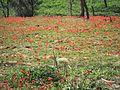 PikiWiki Israel 30793 Plants of Israel.jpg