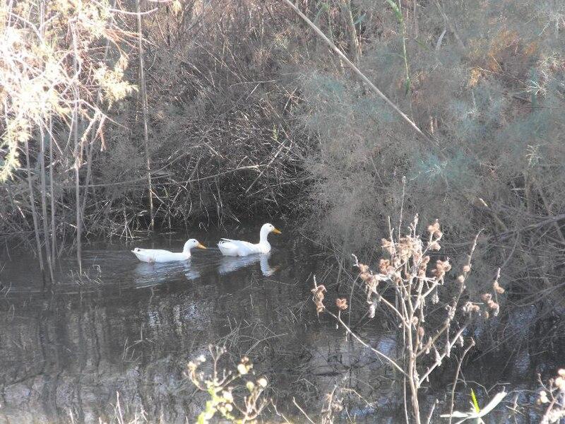 ברווזים באגם ראשון-לציון