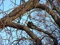 File:Pileated Woodpecker (198 8940).webm