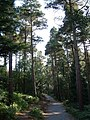 Pines on Buller's Hill - geograph.org.uk - 239541.jpg