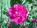 Pink rose (4440966404).jpg