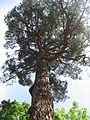 Pinus brutia 02 by Line1.jpg