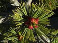 Pinus flexilis - Flickr - pellaea.jpg