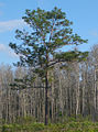Pinus palustris Jay B Starkey Wilderness Park Florida cropped.jpg