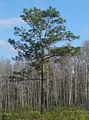 Pinus palustris Jay B Starkey Wilderness Park Florida cropped.jpg