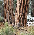 Pinus ponderosa subsp benthamiana trunks Lassen National Forest.jpg