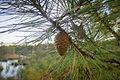 Pinus rigida Atsion Lake.jpg