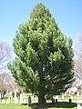 Pinus strobus 'Fastigiata', Mount Auburn Cemetery.JPG