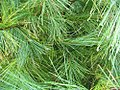 Pinus strobus 21zz.jpg