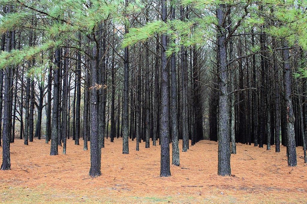 File Pinus Taeda Plantation Jpg Wikimedia Commons
