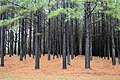 Pinus taeda plantation.jpg