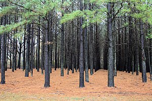 Plantation - A pine plantation in the United States. Tree plantations are usually easily distinguished from natural forests by the trees being planted in straight lines.