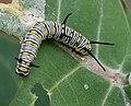 Plain Tiger (Danaus chrysippus) caterpillar on a Calotropis (Milkweed) species in Hyderabad, AP W IMG 7968.jpg