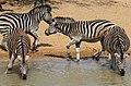 Plains zebra (common zebra or Burchell's zebra), Equus quagga, at the water hole, uMkhuze Game Reserve, kwaZulu-Natal, South Africa (15445943015).jpg
