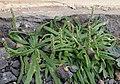 Plantago coronopus kz1.JPG