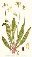 Plantago lanceolata Nordens Flora.jpg