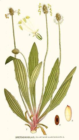 Plantago lanceolata Nordens