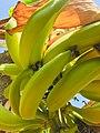 Plantain Tree.jpg