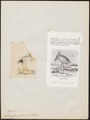 Platalea flavipes - - Print - Iconographia Zoologica - Special Collections University of Amsterdam - UBA01 IZ17600089.tif
