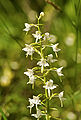Platanthera chlorantha LC0226.jpg