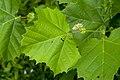 Platanus occidentalis - Flickr - aspidoscelis (1).jpg