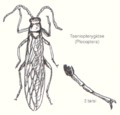 Plecoptera-taeniopterygidae.png