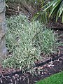 Pleioblastus variegatus (14429432575).jpg