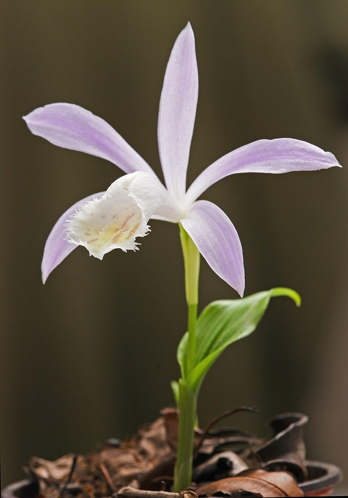 Pleione Plant Wikipedia