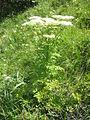 Pleurospermum austriacum002.jpg