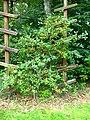 Podlaskie - Suprasl - Kopna Gora - Arboretum - Lonicera iberica.JPG