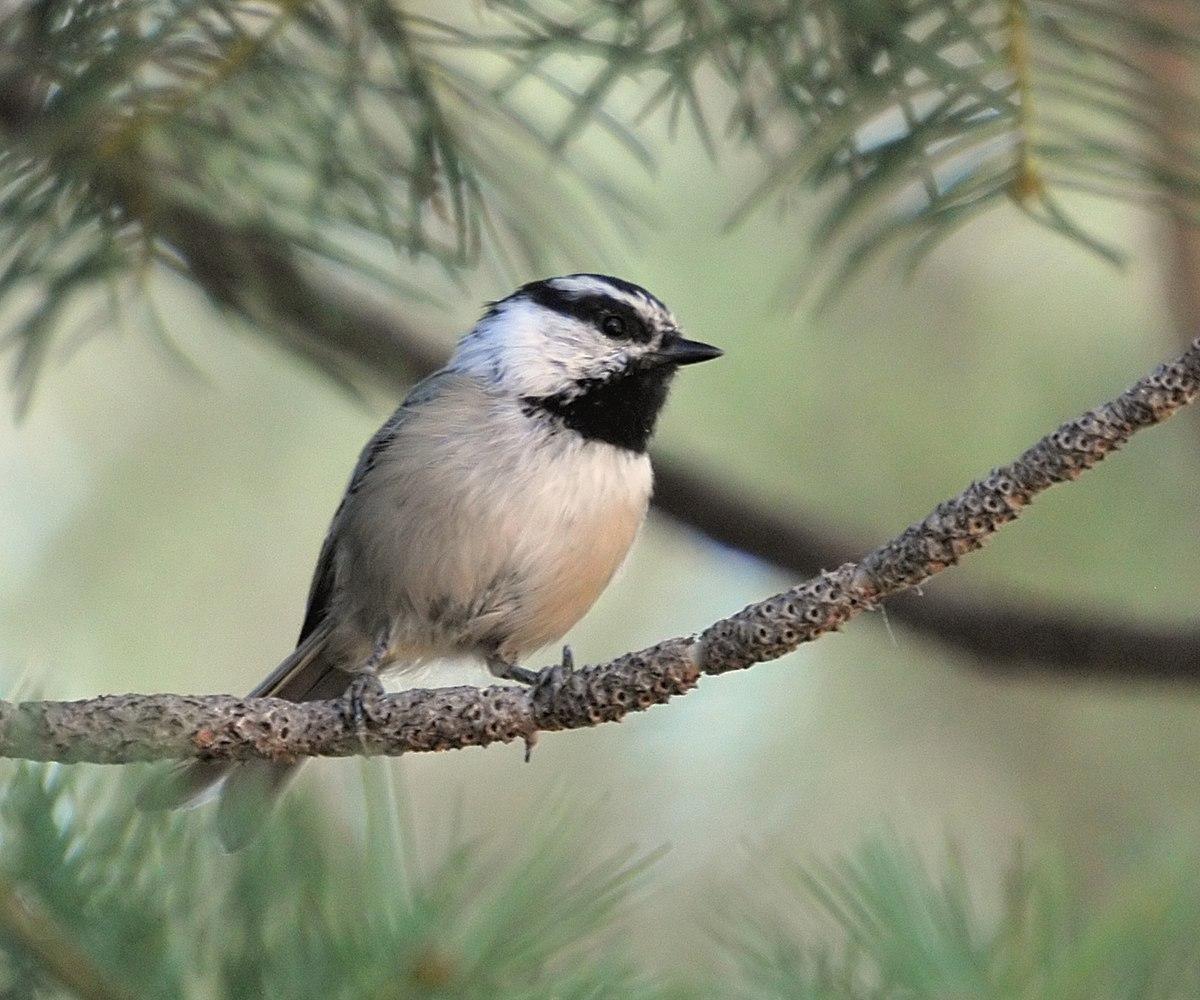 Mountain birds beat the odds