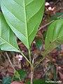 Pogonophora schomburgkiana, cocão - Flickr - Tarciso Leão.jpg