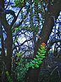 Pohon Cantigi , dikawah ijen.jpg