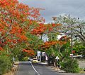 Poinciana tree. Delonix regia - Flickr - gailhampshire.jpg