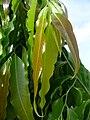 Polyalthia longifolia var pendula - leaves 2.jpg