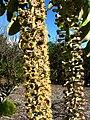 Polyscias racemosa (5455568842).jpg
