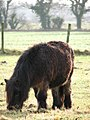 Pony with winter coat in Cawston, Norfolk- geograph.org.uk - 640460.jpg