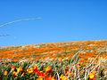 Poppies (2371593485).jpg