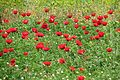 Poppies in Kfar Nin, Israel 18.jpg
