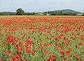 Poppy-speckled rape crop - geograph.org.uk - 1335301.jpg