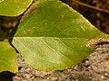 Populus balsamifera (5002307905).jpg