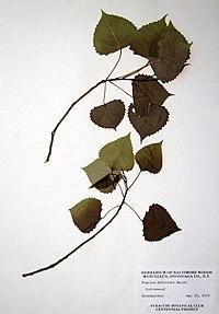 Populus deltoides ssp. deltoides BW-1979-0529-0663.jpg