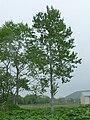 Populus tremula var sieboldii in Hokkaido-2.jpg