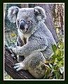 Port Douglas Koala-2 (4985087366).jpg