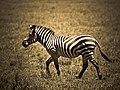 Portrait zebra.jpg