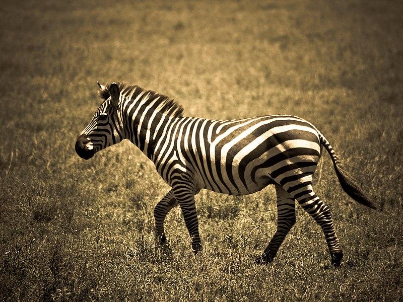 File:Portrait zebra.jpg